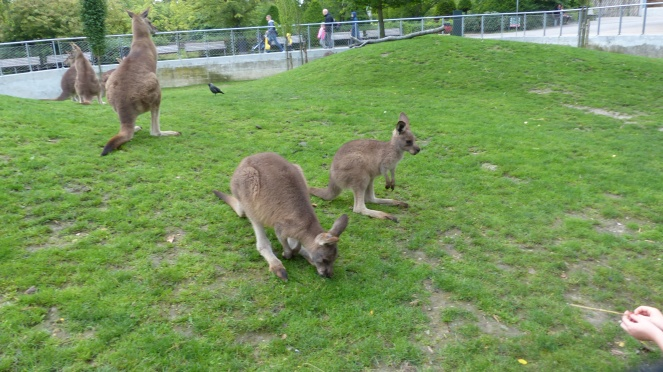 We are about five feet away from these kangaroos with no barrier!